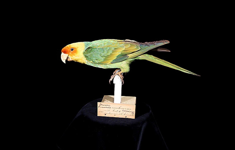 Carolina Parakeet, Male Specimen