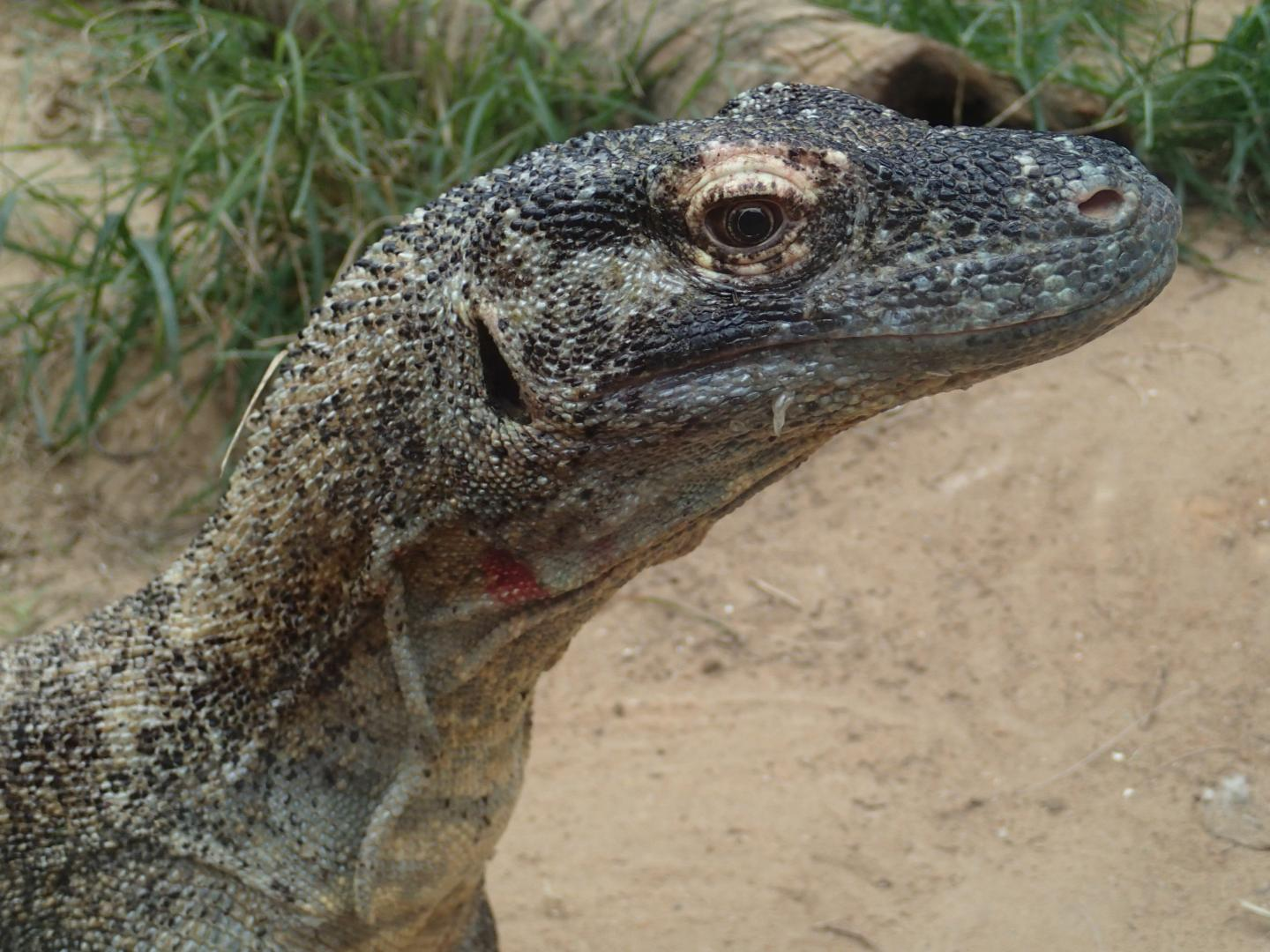 Antimicrobial Substances Identified in Komodo Dragon Blood