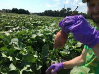 Charles Pepe-Ranney Collecting Sweet Potatoes