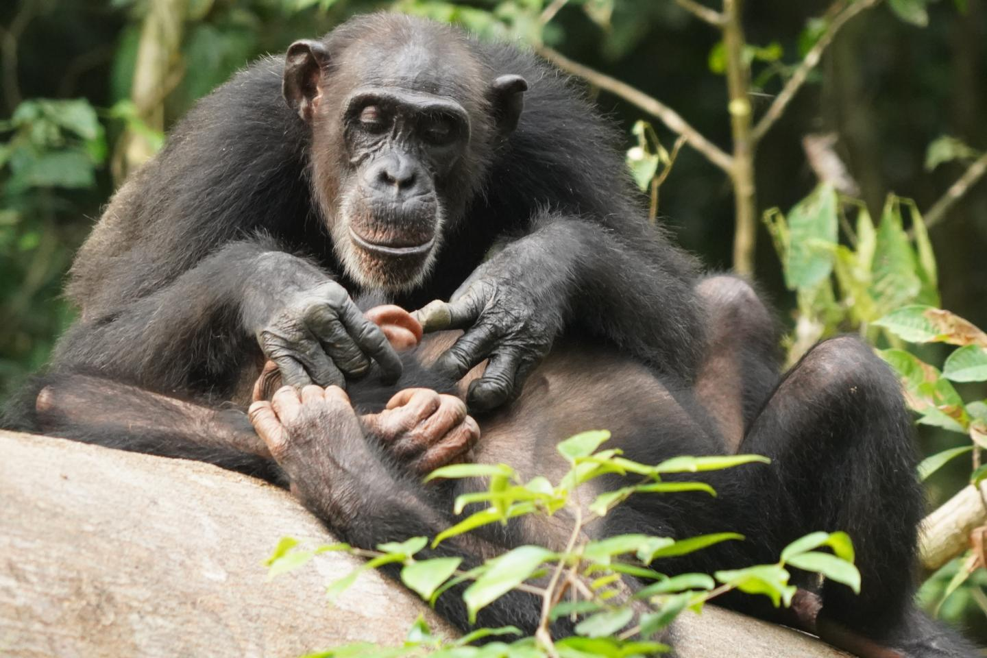 Chimpanzee Mother with Offspring