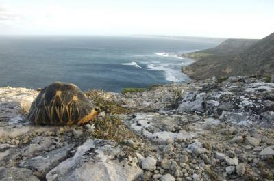 Radiated Tortoise in Madagascar