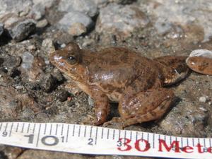 Common Skittering Frog