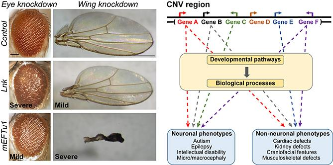 CNV Wing and Eye