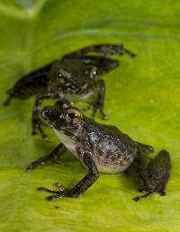 Most Modern Frogs Originated Later Than Previously Thought