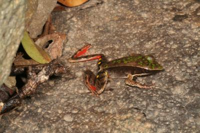 UGA Study Reveals Ecosystem-Level Consequences of Frog Extinctions (1 of 3)