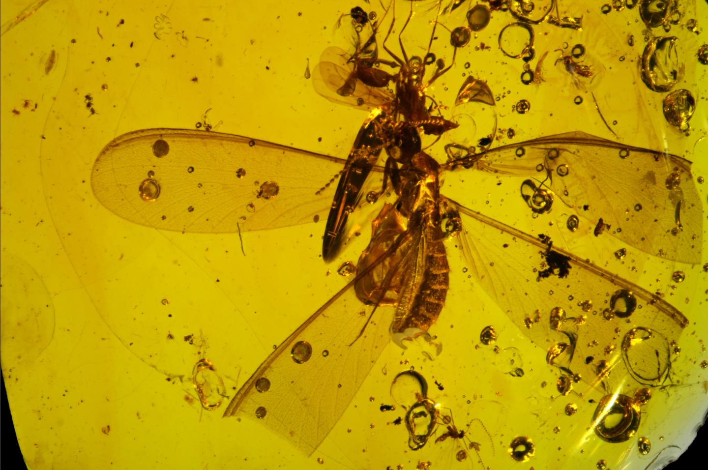 16-Million-Year-Old Fossil Shows Springtails Hitchhiking on Winged Termite