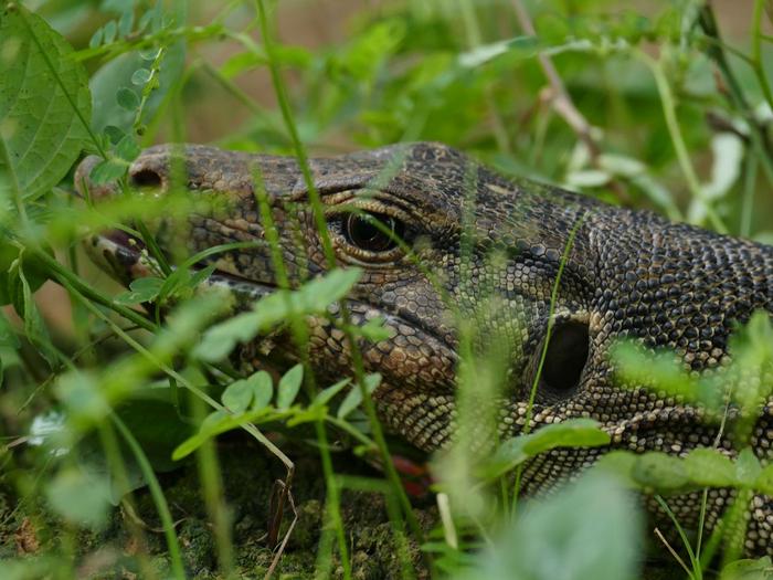 Deep Look. An Asian water monitor lizard (Varanus salvator) in the Lower Kinabatangan Wildlife Sanctuary, Sabah, Malaysia (Borneo).