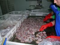 Frogs Being Processed for Market