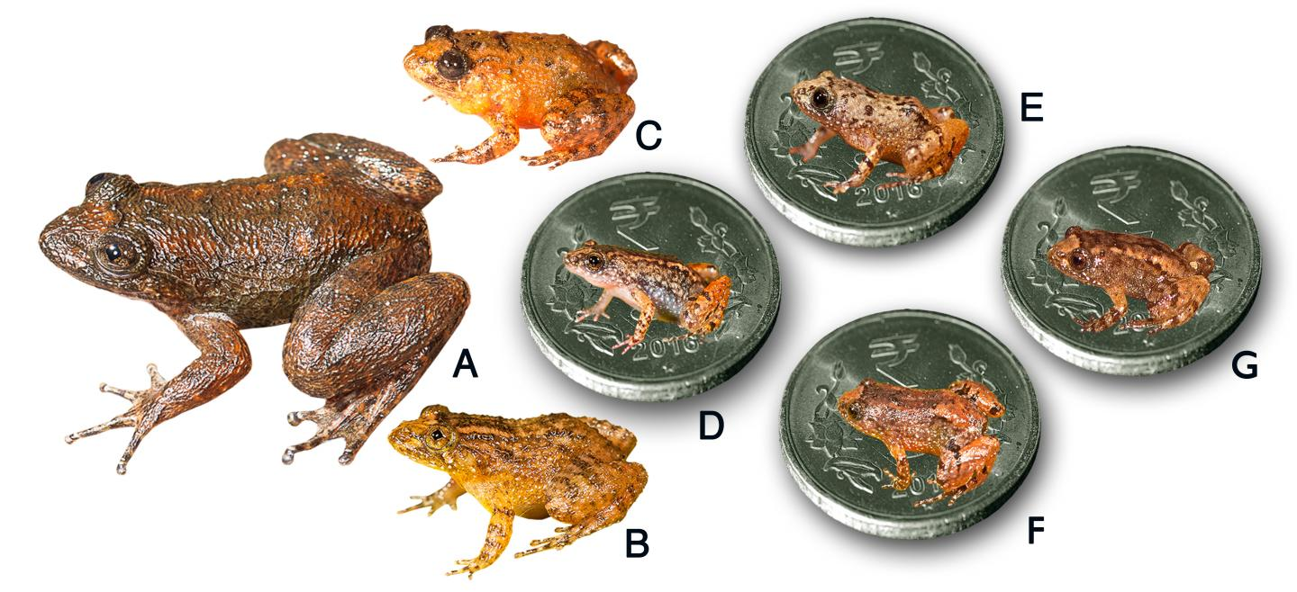 Seven New Frog Species Discovered from the Western Ghats