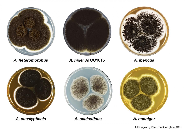 <i.Aspergillus</i> Section Nigri Fungi