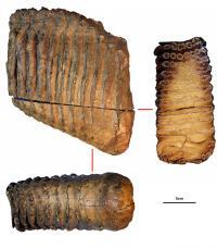 Krestovka speciment tooth