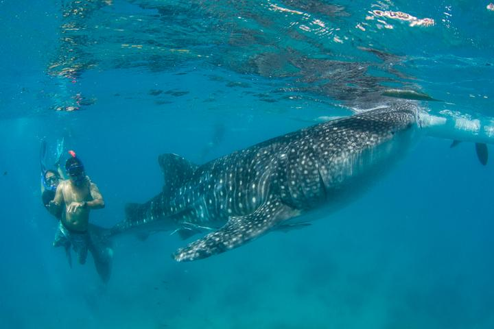 Tourists diving with whale shark at Oslob, Philippines