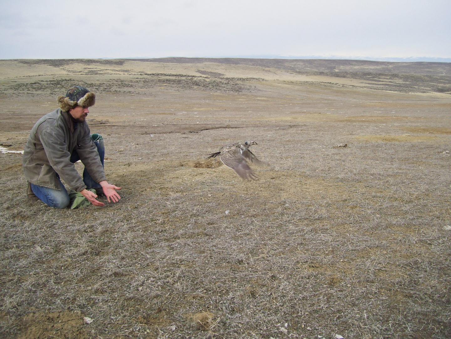 Releasing Tagged Female Greater Sage-Grouse