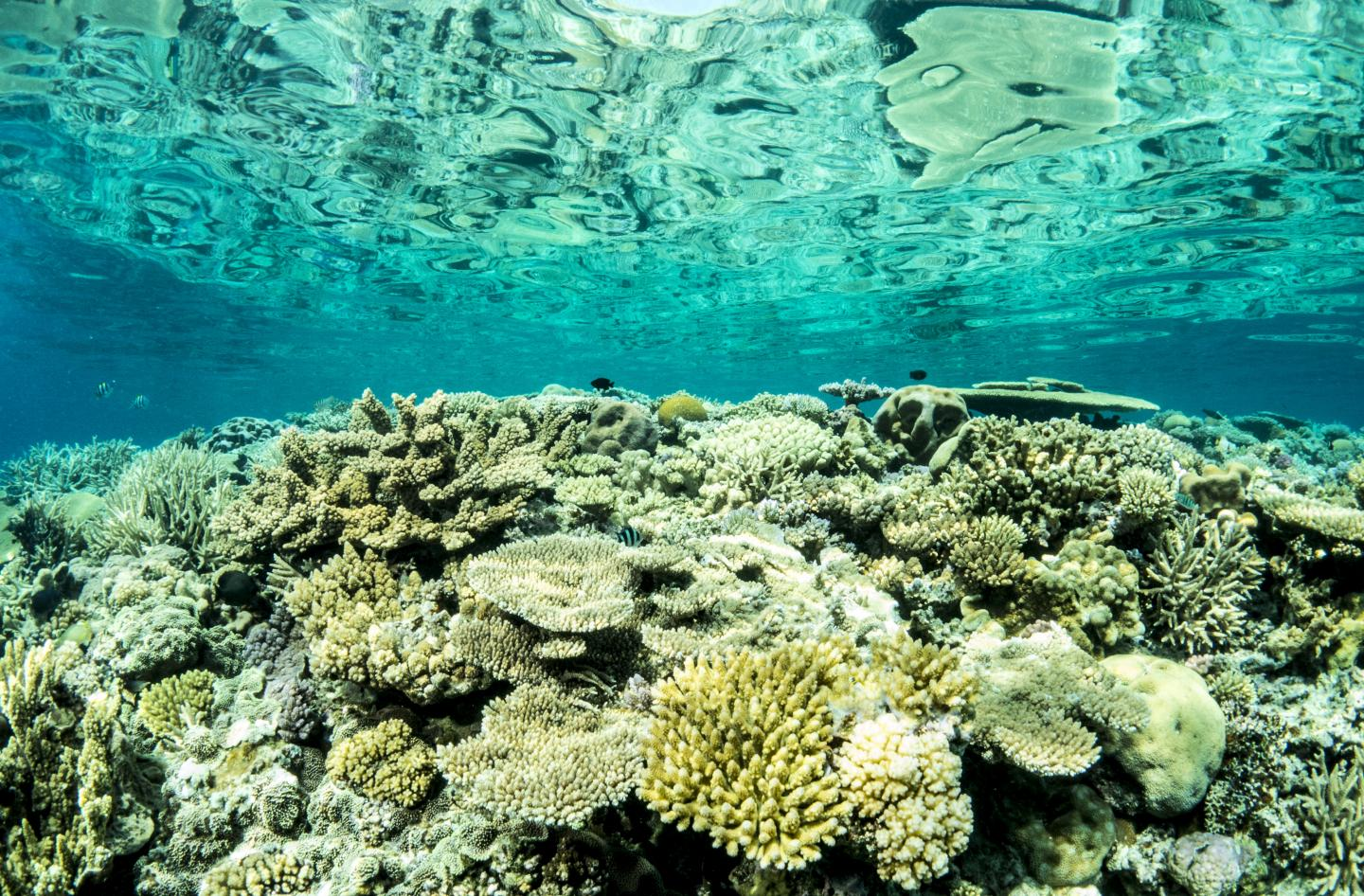 Resilience of Great Barrier Reef offers Opportunities for Regeneration