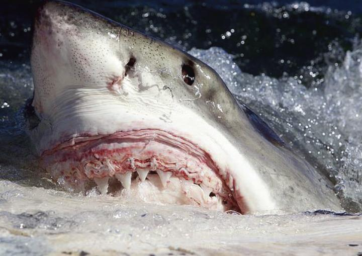White shark (Carcharodon carcharias) scavenging on whale carcass