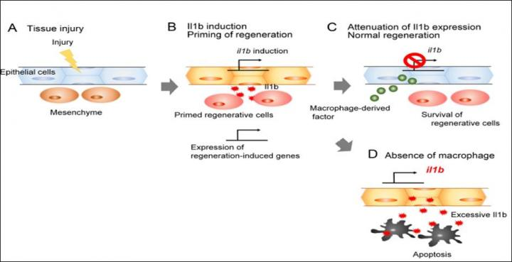 The Role of Il1b and Macrophages During Fin Regeneration