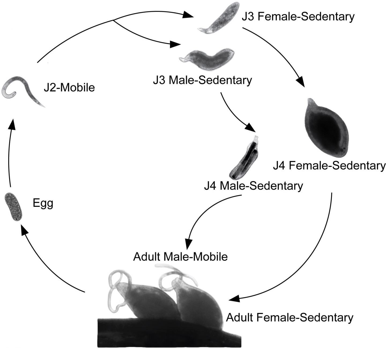 Soybean Cyst Nematode Life Cycle
