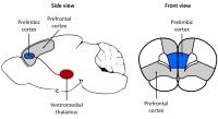 Diagram of Different Regions of Brain in Rats