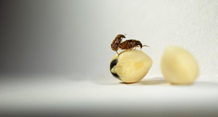 Seed beetles