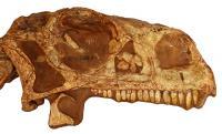 <i>Massospondylus</i> Skull