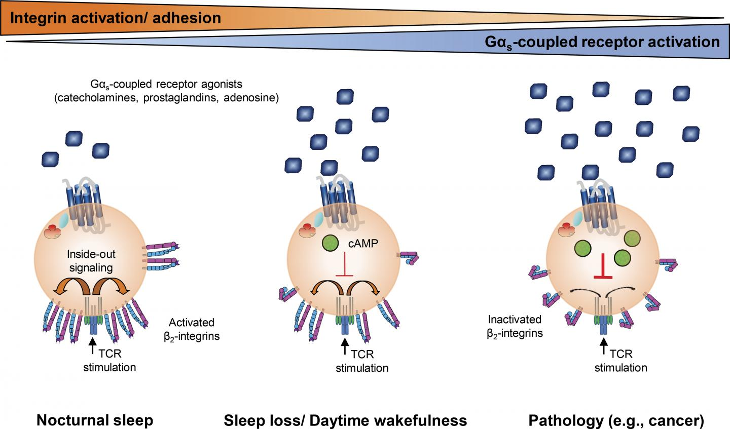 Sleep and Disease Affect the Immune System's T Cells