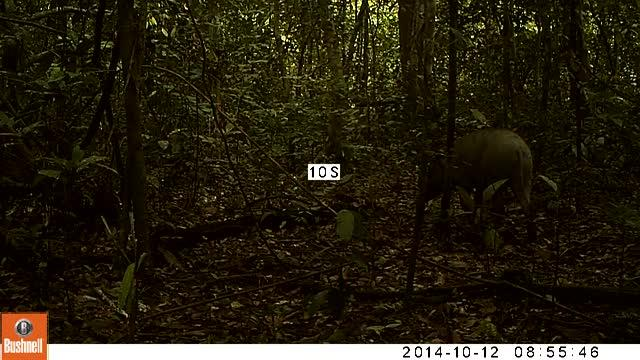 Wild Boar with a Piglet in Pasoh Forest Reserve
