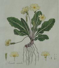 <em>Primula vulgaris</em> from Curtis' Floral Londinensis (1777-1798)