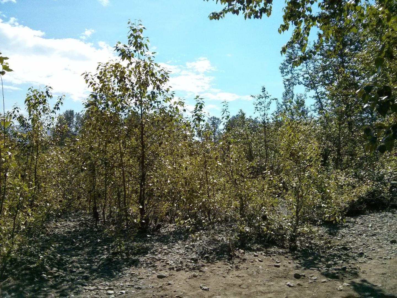 Poplars along river