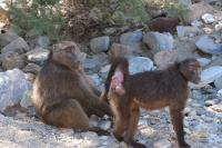 Female Baboon Presenting to Male