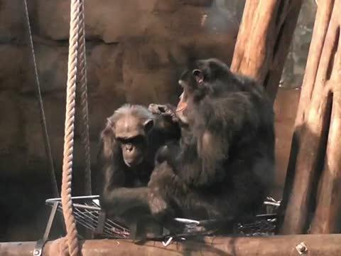 Chimp Lip-Smacks as They're Grooming