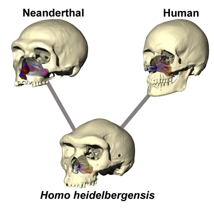 Neanderthal Skull Simulation