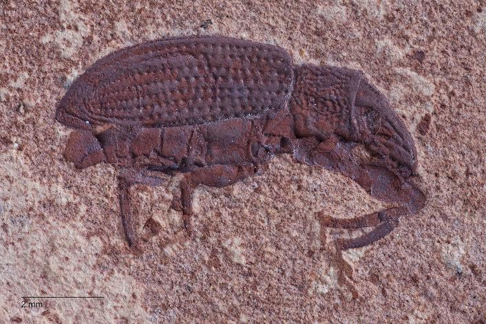 Weevil Fossil