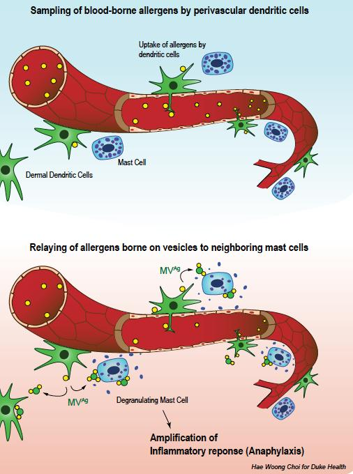 Sampling of Blood-Borne Allergens by Perivascular Dendritic Cells