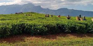 Tea planation in Malawi