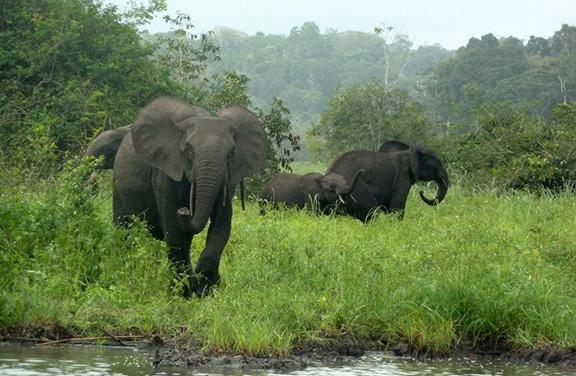Forest Elephant Duke