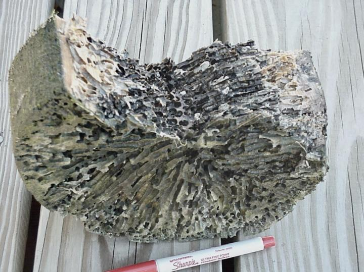 Section of a piling attacked by shipworms in Belfast, Maine