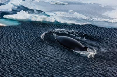 Mink Whale