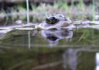 Cascades Frog Swims