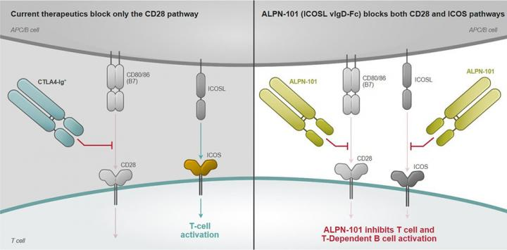 T-cell co-stimulation pathways