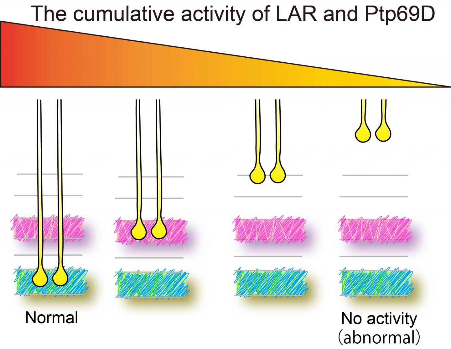 Cumulative LAR and Ptp69D Expression Controls Layer Termination of R7 Axons