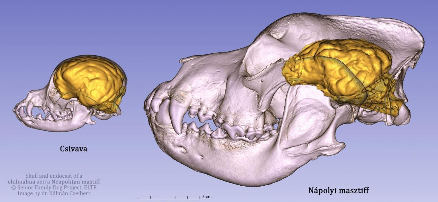 The Skull and Endocast of a Chihuahua and a Neapolitan Mastiff
