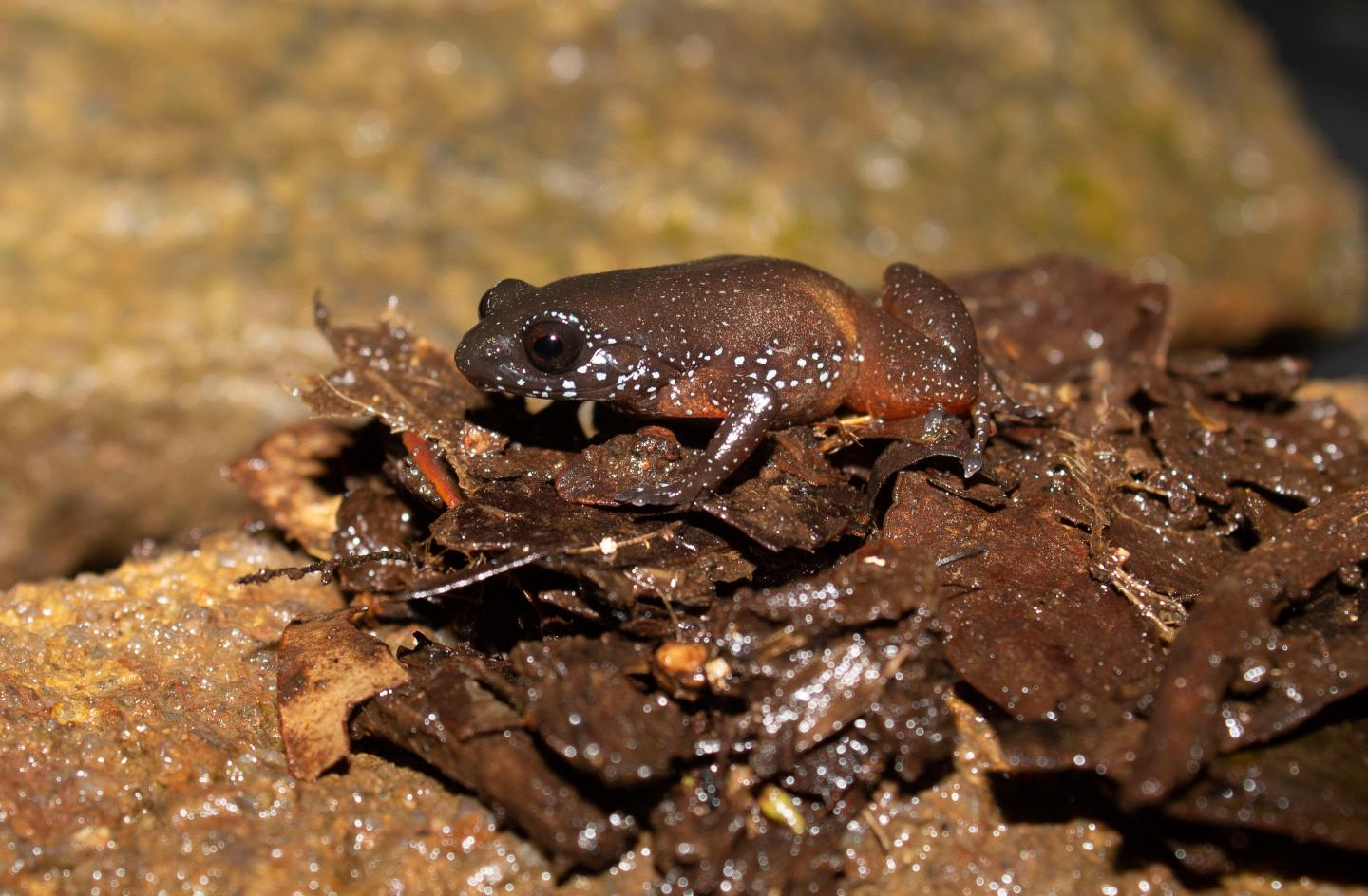 Frog's Unusual Starry Patterning Serves as Effective Camouflage