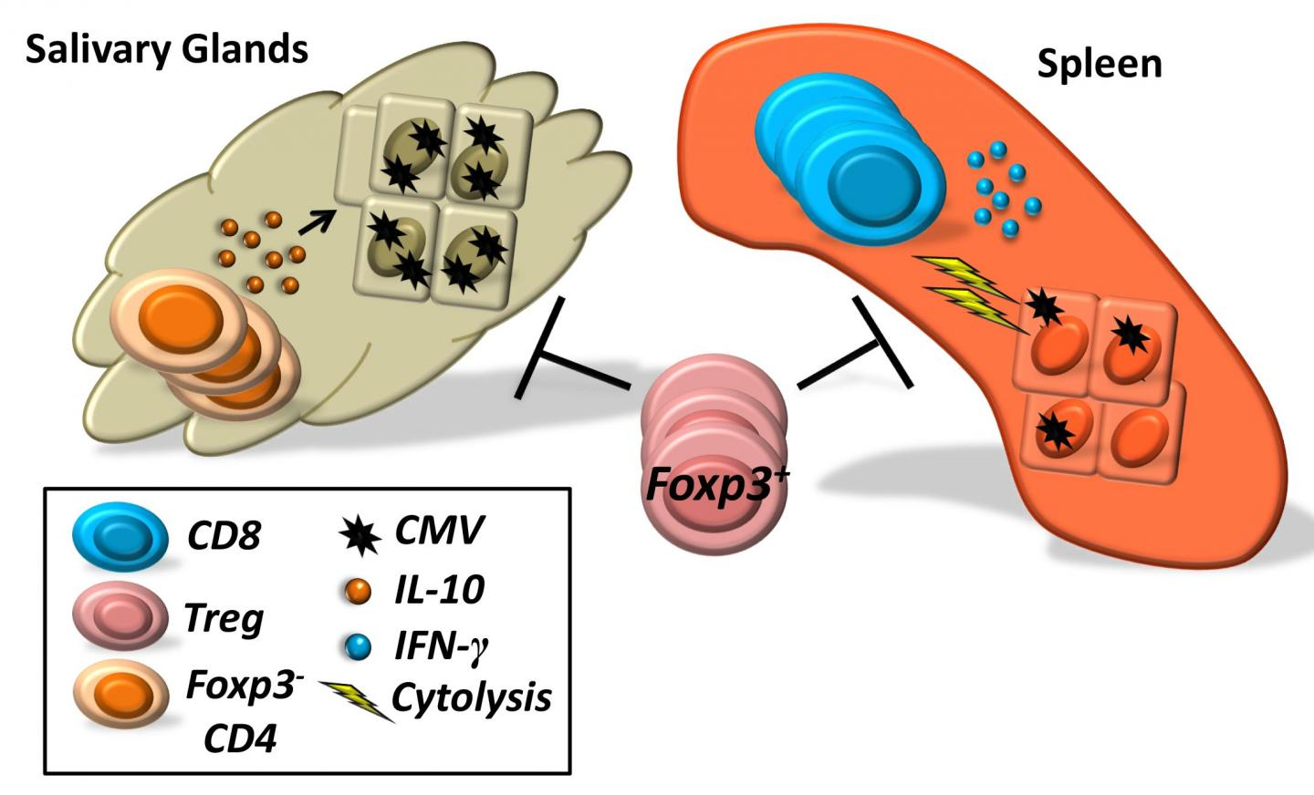 Immune Cells Promote or Prevent Cytomegalovirus Activity in Mice Depending on Location in the Body