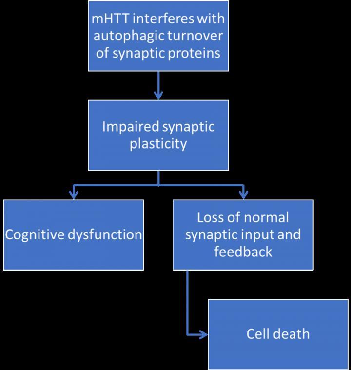 Proposed pathway of mutant huntingtin