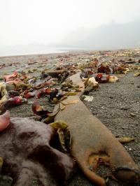 Kelp Found by Dr. Erasmo Macaya