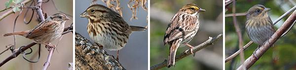 Four Species of Saltmarsh Sparrows Studied