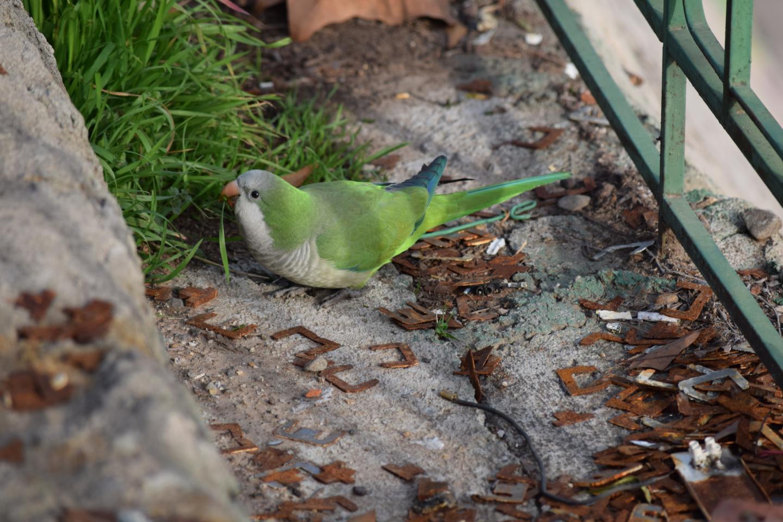 Monk Parakeet 1