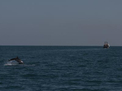 Dolphin Next to Trawler in the Mediterranean