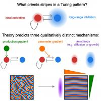 What Orients Stripes in a Turing Pattern?