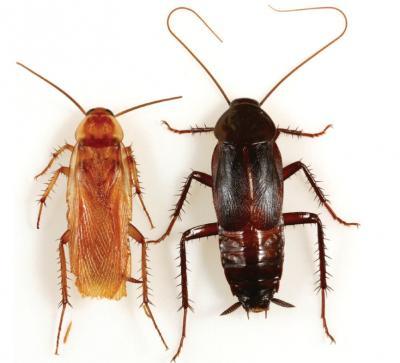 A Turkestan Cockroach and An Oriental Cockroach